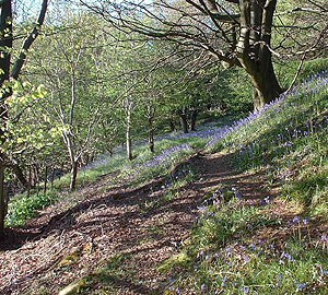 Blue Bells on our farm walk