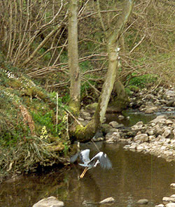 Heron taking off from the beck
